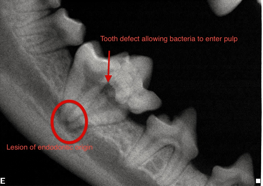 Your Pet Dentist Dental Radiographic Interpretation For The Dog And